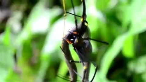 Rắn dài nửa mét sa lưới 'phù thủy' nhện