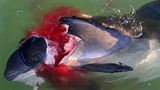 Ám ảnh hải cẩu sát thủ tấn công, xẻ thịt cá heo
