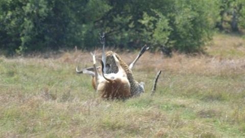 Linh dương và báo đốm điên cuồng vật lộn trên đồng cỏ