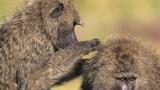 Cuộc chiến ầm ĩ của đàn khỉ đầu chó