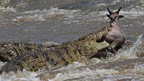 Linh dương vùng vẫy thoát khỏi miệng cá sấu