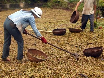Cà phê thế giới thiếu hụt nghiêm trọng nhất 9 năm