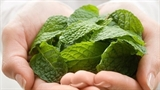 Lợi và hại khi sử dụng rau húng bạc hà