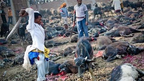 Hãi hùng cảnh giết 5.000 con trâu trong dịp lễ tế thần