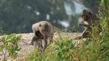 Hổ vồ khỉ trong chớp mắt