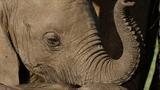 Cảm động cảnh voi con khóc khi mẹ bị bắn chết