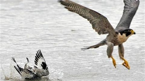Khoảnh khắc chim cắt đá con mồi ngã dúi xuống nước