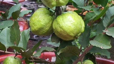 Trồng ổi trong chậu siêu trái được nhận giải thưởng