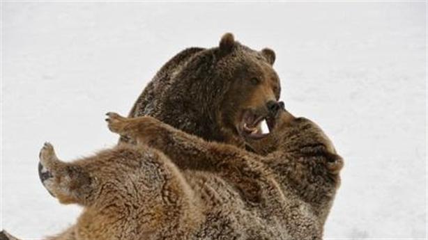 Gấu nâu dùng thế đòn judo để hạ gục đối phương