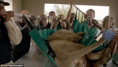 Mất 6 tiếng để… nhổ răng nanh sư tử trắng