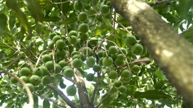 Cấp tập trồng cây mắc ca: Lời chốt đầy trách nhiệm
