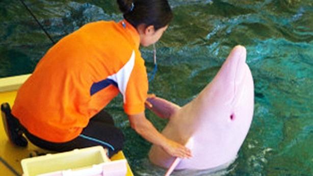 Ngắm cá heo bạch tạng chuyển hồng khi xấu hổ
