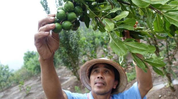 Cấp tập mở rộng mắc ca: Giao việc cho Bộ Nông nghiệp