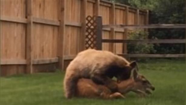 Gấu rừng nhảy vào vườn sau cắn chết hươu nhà
