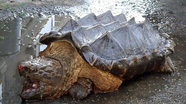 Bắt gặp rùa cá sấu khổng lồ kỳ quái trên sông