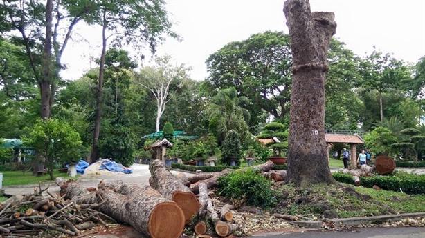 Đốn hạ 3 cây cổ thụ trong Thảo Cầm Viên
