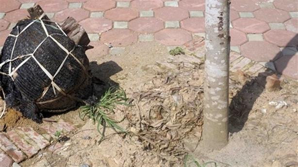 Hà Nội: Cây bọc nilon trồng lại đã héo khô
