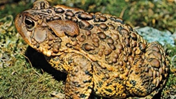 Cận cảnh loài cóc được lấy nọc làm thuốc kích dục