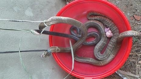 Xem ảnh: Phục kích ổ rắn hổ mang ở Hà Nội