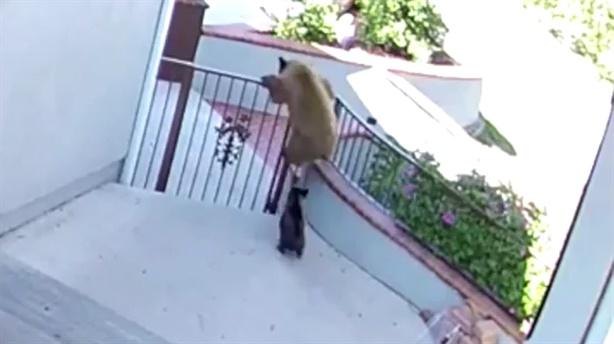 Chú chó dũng cảm đuổi ba con gấu ra khỏi nhà