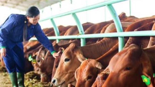 Học Bầu Đức cách nuôi bò: Tôi rất tâm tư