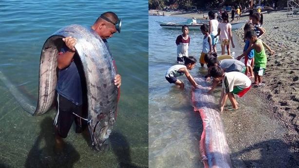 Phát hiện cá mái chèo khủng dài 4m trên bờ biển