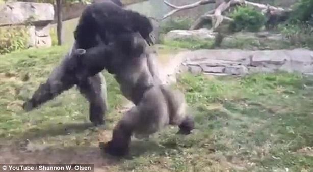 Khỉ đột quyết đấu như hai võ sĩ quyền anh