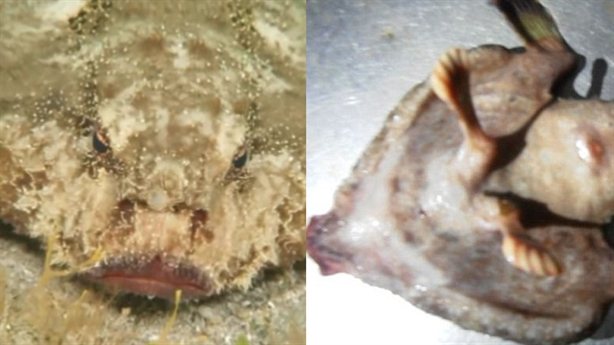Kỳ lạ cá có mũi như người và đi bằng chân