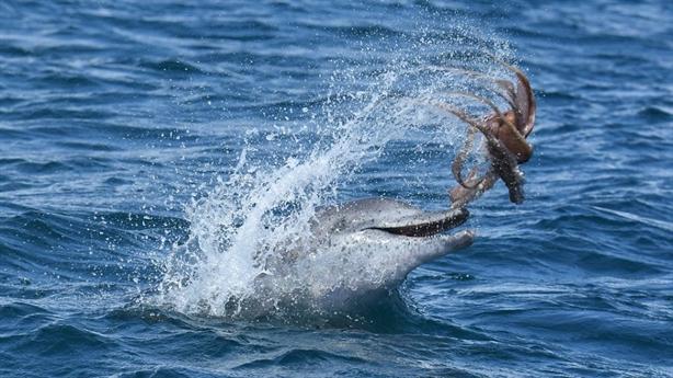Kinh ngạc: Bạch tuộc trở thành đồ chơi của cá heo