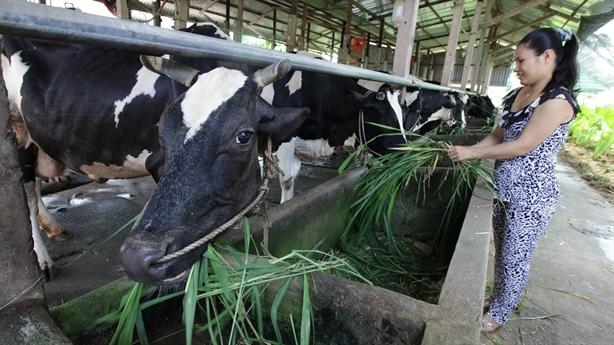 Bộ đề nghị Vinamilk mua sữa cho nông dân Sóc Trăng