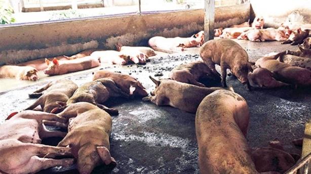 Dùng chất tạo nạc: Phạt 40 triệu đồng/2 trại nuôi heo