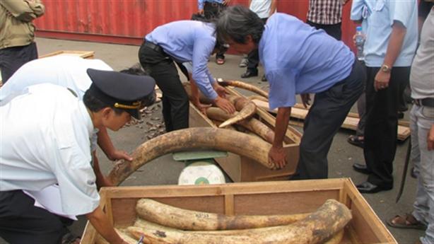 Tiêu hủy ngà voi tại Hoàng thành Thăng Long: Không nên