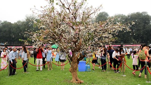 Lễ hội hoa anh đào không cướp hoa: Duy nhất một cây
