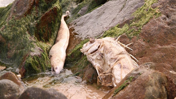 Cá chết hàng loạt: Formosa được phép xả thải, Sở không biết