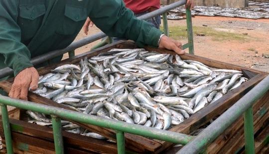 Cá nục nhiễm độc: Lật ngược làm lại, chưa tiêu hủy ngay