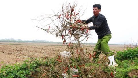 Hàn Quốc cùng trồng ớt, nông dân Việt bớt cay?
