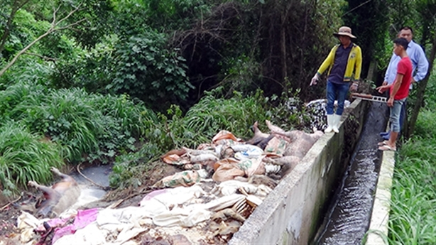 Vứt xác lợn thối ra sông Sài Gòn: Giải thích lạ