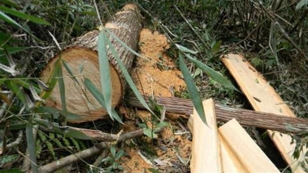 Vụ phá rừng pơmu:Chủ tịch Quảng Nam nói thẳng có bao che