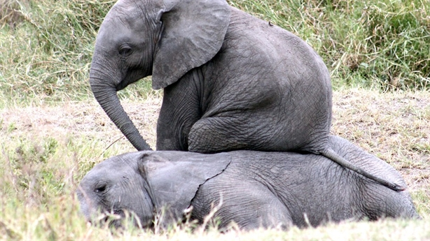 Chú voi ngồi lên người bạn vì không muốn bị đau mông
