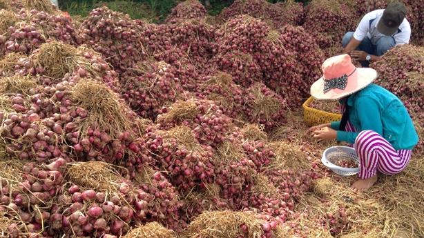 Việt Nam xuất khẩu công nghệ trồng hành: Thực tài nông dân