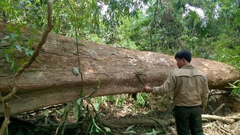 Bình Phước cưa rừng trồng cao su: Rừng nghèo mà không nghèo?