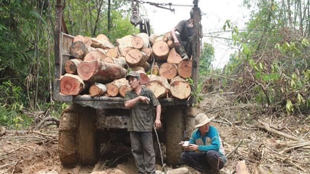 Bình Phước cưa rừng trồng cao su: Sự phi lý thường tình