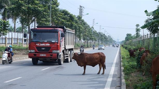 Chăn bò trên đại lộ Thăng Lo