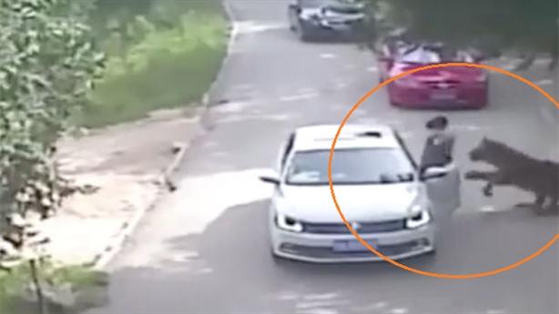 Hổ vồ chết người, gây chấn thương nặng cho du khách