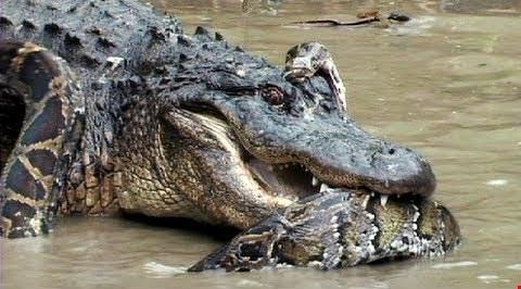 Trăn khổng lồ suýt bỏ mạng vì săn cá sấu