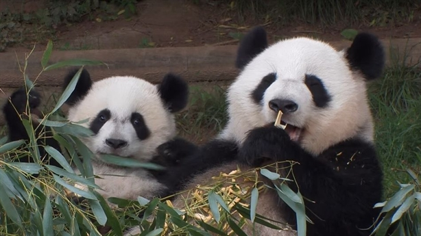 Cặp gấu trúc Mỹ sốc văn hóa khi về Trung Quốc