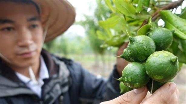 Kỳ lạ hô hào trồng mắc-ca: Không thể học Trung Quốc!