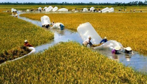 Việt Nam sang Campuchia học trồng lúa: Không việc gì phải học!
