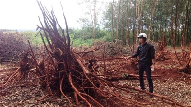 Lạ lùng DN Trung Quốc ồ ạt thu mua gỗ cao su