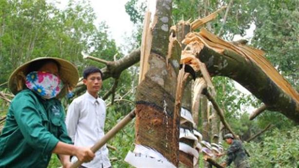Chặt cao su bán gỗ sang Trung Quốc: Vết xe đổ...